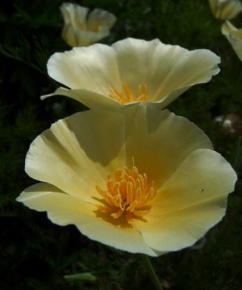 Eschscholzia californica 'White Linen' ist die hellste Auslese vom Kalifornischen Mohn.