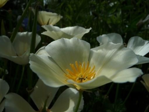Eschscholzia californica 'White Linen' blüht cremefarben (Kalifornischer Mohn, Schlafmützchen).