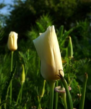 Die Samenkapseln von Eschscholzia californica haben der Pflanze den deutschen Namen 'Schlafmützchen' eingebracht. Hier die Sorte 'White Linen'.