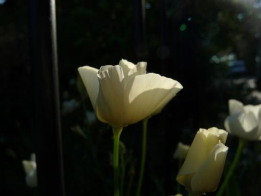 Eschscholzia californica 'White Linen' ist eine fast weiße Sorte des Kalifornischen Mohns.