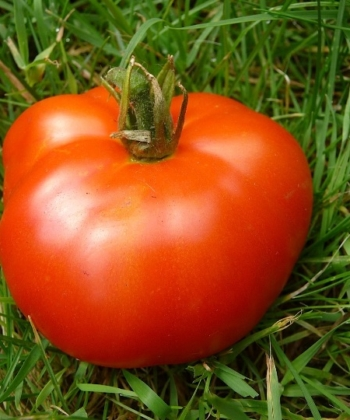 Tomate Extrem Bush