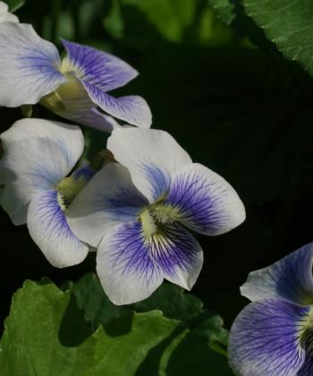 Ein feines Veilchen: Viola sororia 'Priceana'.