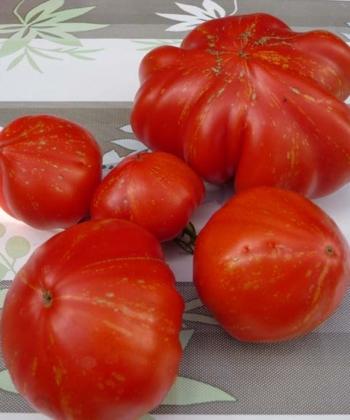 Tomate Feuerwerk