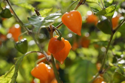 Feurige Schoten warten auf die Ernte: Chili Golden Lantern.