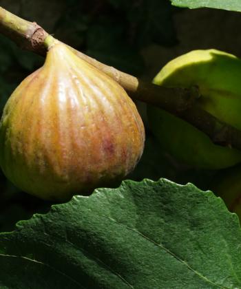 Ficus carica 'Dauphine' trägt jedes Jahr zuckersüße Feigen.