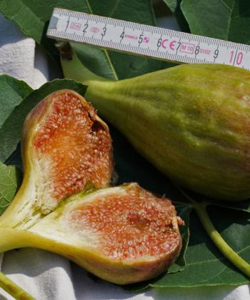 Ficus carica 'Longue de Aout' bringt für die Sorte typisch, längliche Früchte hervor, weshalb sie auch als Bananenfeige bezeichnet wird.