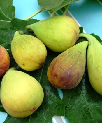 Ficus carica 'Longue de Aout' macht beeindruckend große Früchte.
