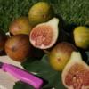 Ficus carica 'Madeleine des deux Saisons' Feigen und Blätter.
