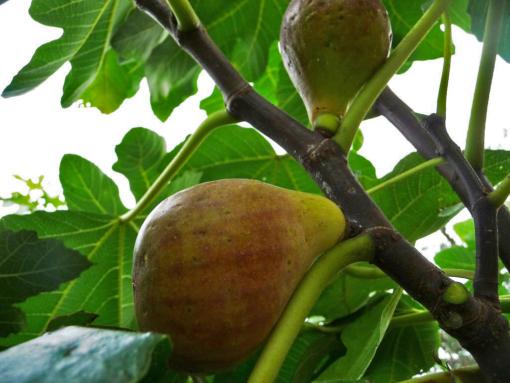 Bei Ficus carica 'Madeleine des deux Saisons' die reifen Früchte hängen nicht so stark herab wie andere Sorten.