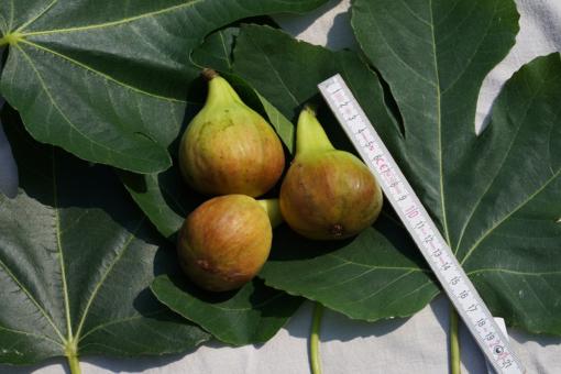 Ficus carica 'Madeleine des deux Saisons' ein-Feigenbaum der mehrmals im Jahr Früchte trägt.