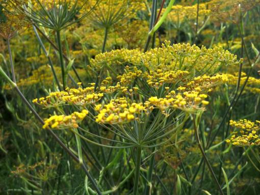 Die Heilpflanze Foeniculum vulgare 'Atropurpureum' (Bronzefenchel) hat nicht nur schönes Laub, sondern auch leuchtende Blüten.