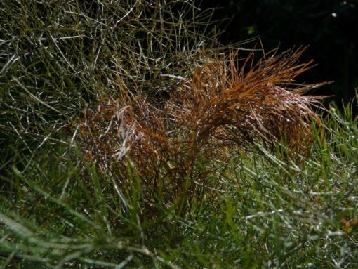 Das junge Laub des Bronzefenchels Foeniculum vulgare 'Atropurpureum' ist rötlich-braun überlaufen.