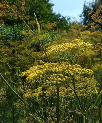 Der Bronzefenchel Foeniculum vulgare 'Atropurpureum' blüht schwefelgelb.