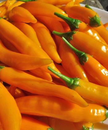 Frisch geerntete Chili 'Criolla Sella'.