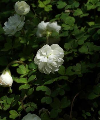 Oxalis magellanica 'Nelson' mit seinen kleinen Pompon-Blüten. Eine wunderbarer Bodendecker für den Halbschatten und Schatten.