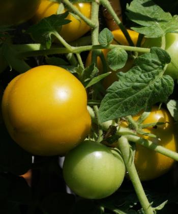 Tomatenfrüchte deSorte Lime Green am Strauch.