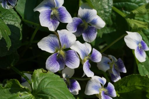 Viola sororia 'Priceana' haben wir vor vielen Jahren als Viola cucculata 'Ploeger' bekommen. Wie dem auch sei, sie kann als zahmer Bodendecker verwendet werden.