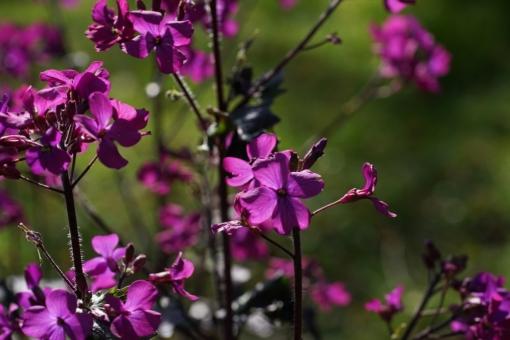 Lunaria annua Chedglow ist wohl die Sorte mit der bisher tiefsten Blütenfarbe