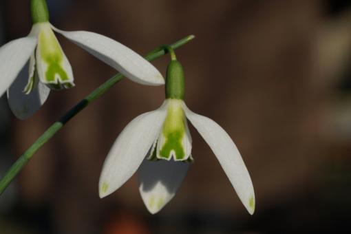 Das Schneeglöckchen Galanthus 'Curly' besitzt eine bemerkenswerte X-förmige Zeichnung auf den inneren Blütenblättern.