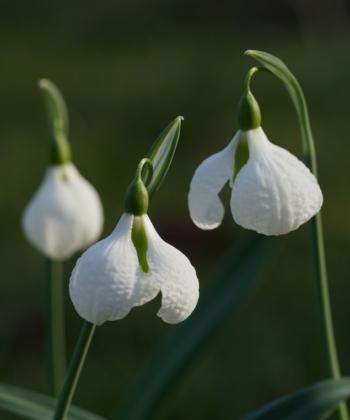 Die stark gehämmerten Blüten von Galanthus 'Diggory' verleihem dem Schneeglöckchen einen markanten Charakter.