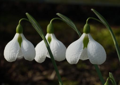 Das Schneeglöckchen Galanthus 'Diggory' zählt zu den Klassikern und ist unverwechselbar.