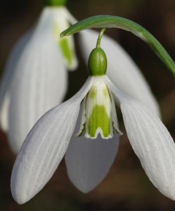 Das Schneeglöckchen Galanthus 'Gerard Parker' zeigt oft einen Y-förmigen Blütenfleck.