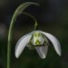 Die großen gefüllten Blüten des Schneeglöckchens Galanthus 'Richard Ayres' öffnen sich früh in der Galanthus-Saison.