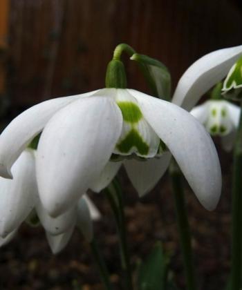 Oft kann man mehr als 3 äußere Blütenblätter bei dem Schneeglöckchen Galanthus 'Richard Ayres' antreffen.
