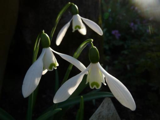 Galanthus 'Straffan' bleibt mit 15 cm Höhe recht komapkt und bildet mit der Zeit kleine Tuffs im Garten.