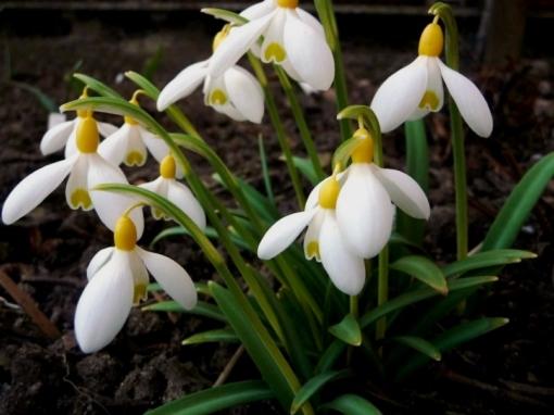 In der Frühlingssonne leuchtet das gelbe Schneeglöckchen Galanthus 'Spindlestone Surprise' schon von weitem.
