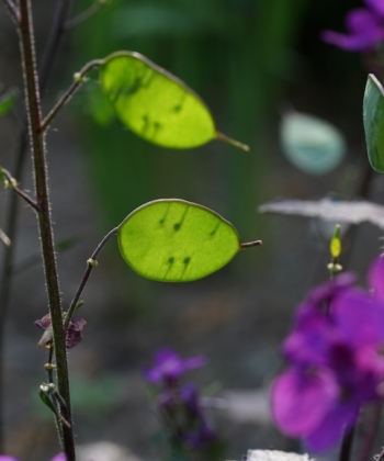 Auch Lunaria annua Chedglow bildet die auffaelligen namensgebenen Schoten