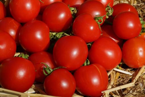 Geranium Kiss ist eine Buschtomate die viele aromatische Tomaten trägt.