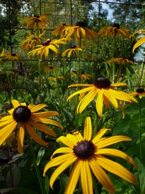 Der Sonnehut Rudbeckia fulgida var. sullivantii 'Goldsturm' ist eine pflegeleichte Staude und fühlt sich im jedem Garten wohl.