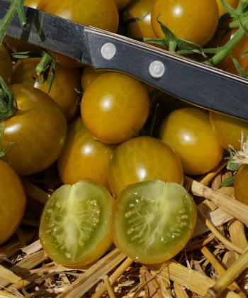 Green Grape ist eine der köstlichsten Tomaten.