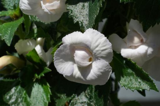 Große Blüten mit einem bläulichen Hauch sind typisch für den Schiefteller Achimenes Icy Volga.