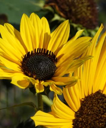 CW2016245 bildet viele Blütenstiele an einer Pflanze.