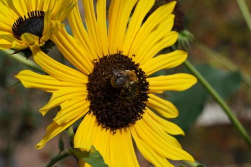Helianthus annuus CW2016245 liefert Wildbienen gute Nahrung.