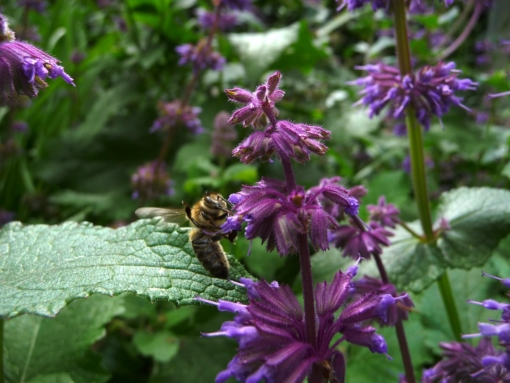 Honigbienen lieben den Quirlblütige Salbei. Hier: Salvia verticillata 'Smouldering Torches'.