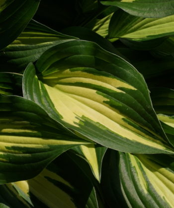 Hosta 'Surprised by Joy'.