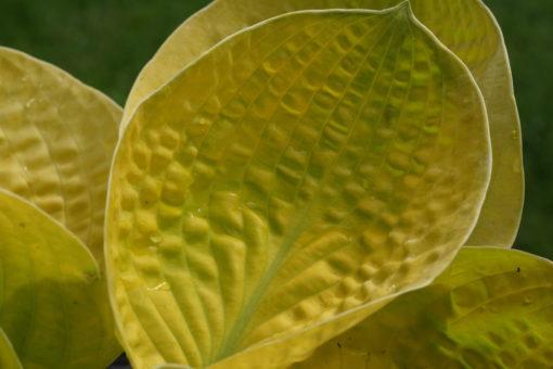 Im Laufe des Sommers zeigt die Hosta 'Maui Buttercups' eine immer kräftigere Farbe.