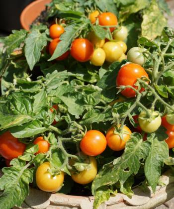 Immer was zum Naschen: die Tomate Mikro Tom in einer Tonschale auf dem Balkon.