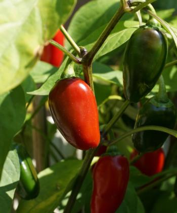 Jalapeno 'TAM' schmeckt sehr mild und kann in vielen Gerichten verwendet werden. Eine leckere Freilandchili (Capsicum).