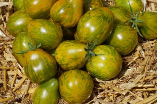 Jede Tomate ist ein Prachtstück: Michael Pollan ist mamoriert.