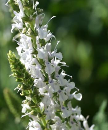 Jede einzelne weiße Blüte des Steppensalbeis Salvia 'Porzellan' besitzt eine himmelblaue Blütenmitte.