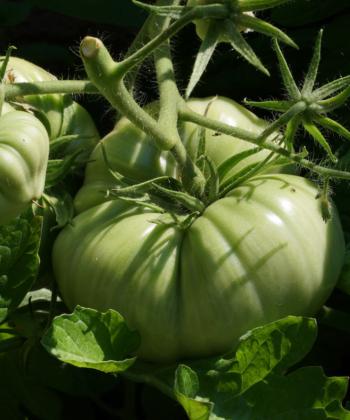 Noch grüne Tomaten Früchte von Brandywine Glicks.