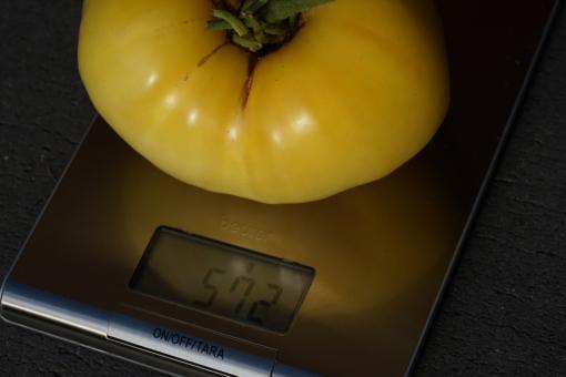 Kein Leichtgewicht: die Tomate Giant White Beefsteak