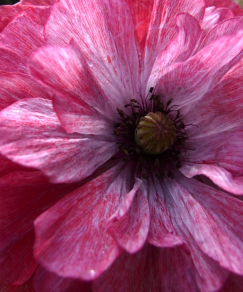 Klatschmohn deluxe hier eine Pflanze der Mischung Papaver 'Angels Choir'.