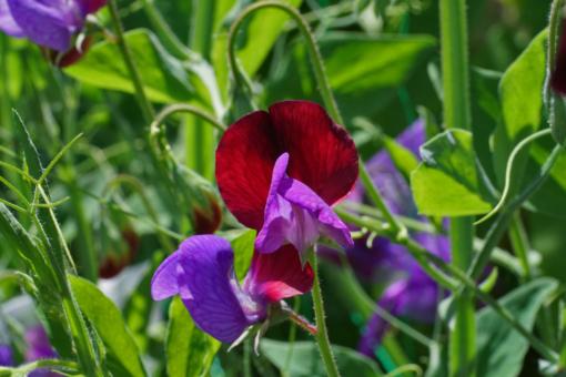 Kleine Blüten, die aber betörend duften: die wilde Form von Lathyrus odoratus aus Sizilien.