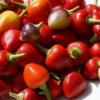 Kleine Früchte mit mittlerer Schärfe sind ein Markenzeichen der Chili Tennessee Teardrops.