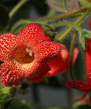 Kohleria x Cybele hat lebhaft gezeichnete Blüten.